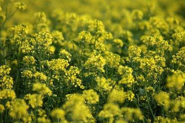 Gele mosterd 'Sinapis alba' - groenbemester - Bio zaden