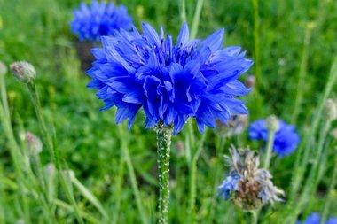 Korenbloem 'Centaurea cyanus' - Bio bloemenzaden
