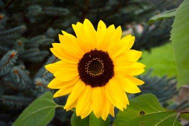 Gele zonnebloem 'Helianthus debilis' - Bio bloemenzaden