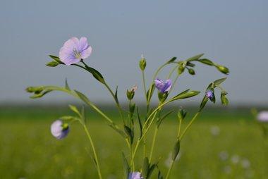 Vlas, blauw 'Linum usitatissimum' - Bio bloemenzaden