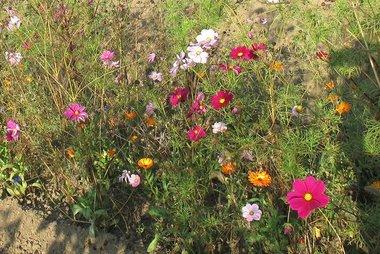 Akkerbloemenmengsel - bio bloemenzaden