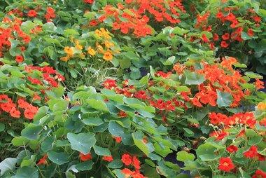 Oost-Indische kers, niet-rankend 'Tropaeolum majus' - bio bloemenzaden