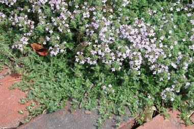Thymus serpyllum - wilde tijm