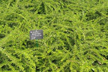Lonicera nitida maigrün Chinese kamperfoelie Extra kwaliteit