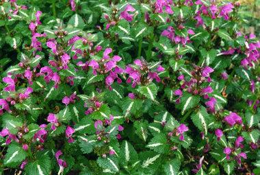 Lamium Maculatum 'Roseum'