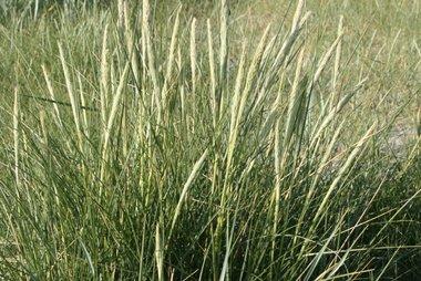 Ammophila arenaria 'helmgras' - extra kwaliteit