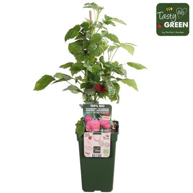 Rode herfst & zomerframboos - Bio fruitplant