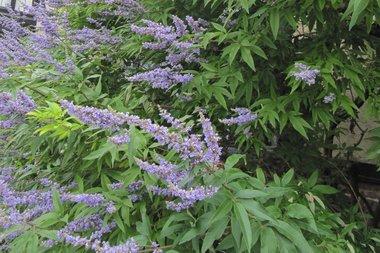Vitex agnus-castus latifolia 'Monnikenpeper' 30-50 cm