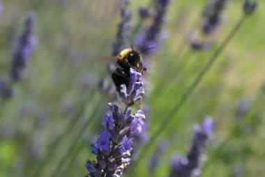 Lavendel 'lavandula angustifolia' Munstead