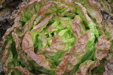 Kropsla 'Wonder der Vier Jaargetijden' – Lactuca sativa - Bio groentezaden
