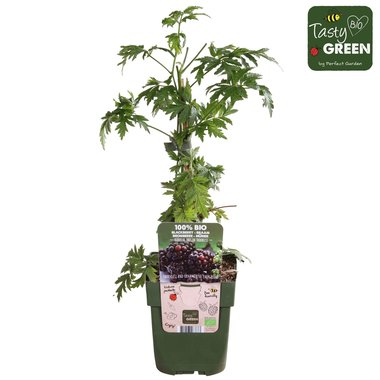 Rubus frut. 'Thornless Evergreen'- Doornloze braam - Bio fruitplant