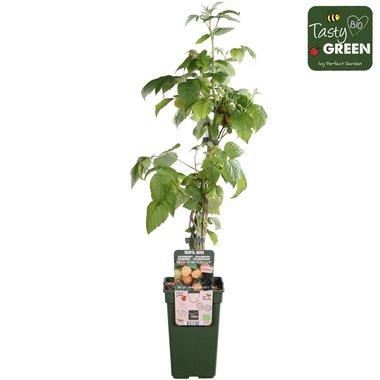 Rubus id. Gele herfst & zomerframboos - Bio fruitplant