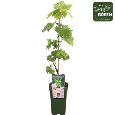 Vitis centennial seedless - Witte pitloze druif - Bio fruitplant