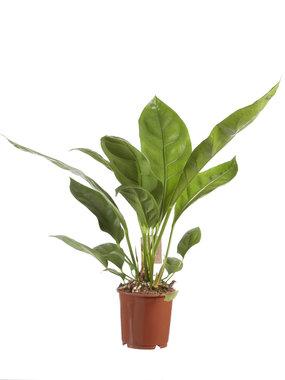 Anthurium Jungle King(Anthurium Jungle King)