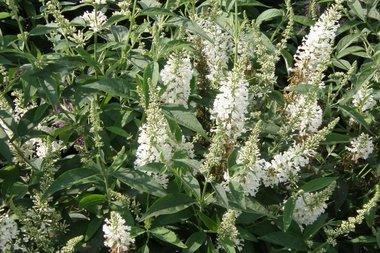 Buddleja ARGUS® White - vlinderstruik