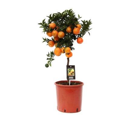 Citrus Mandarin(MANDARIN P22)