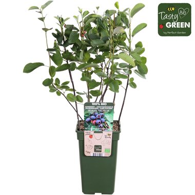 Amelanchier can. Prince William - krentenboompje - Bio fruitplant