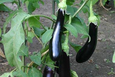Aubergine 'Violetta Lunga 3' – Solanum melongena - Bio groentezaden