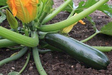 Courgette 'Black Beauty' – Cucurbita pepo - Bio groentezaden