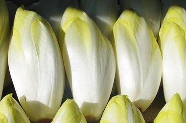 Witlof 'Hollandse Middelvroeg' – Cichorium intybus - Bio groentezaden