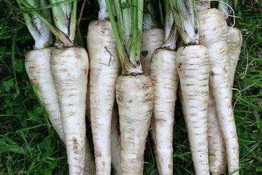 Pastinaak 'Tender and True' – Pastinaca sativa - Bio groentezaden