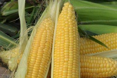 Suikermais 'Golden Bantam' – Zea mays - Bio groentezaden