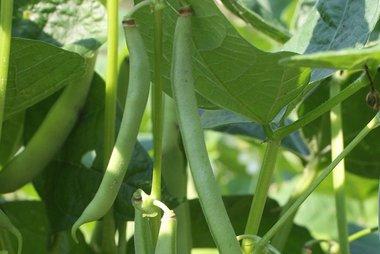 Stamslaboon 'Dubbele witte zonder draad' – Phaseolus vulgaris - Bio groentezaden