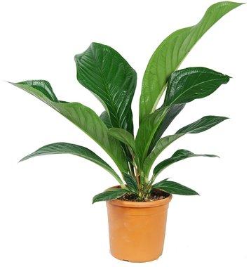 Anthurium jenmanii 'Green Passion'()