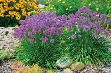 Allium 'Millenium' - sierui - C3 pot