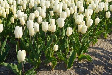 7 x Tulipa White Prince - biologische bloembol