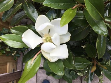 Magnolia grandiflora 'little gem' - beverboom 80/100 cm