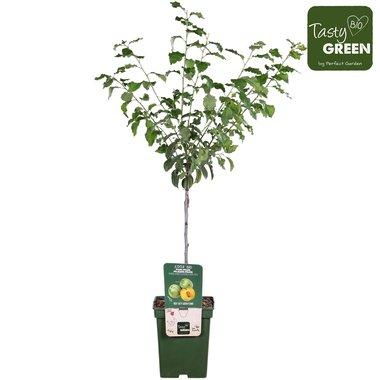 Prunus dom. 'Reine-Claude Vert' - Pruimelaar - Bio fruitboom