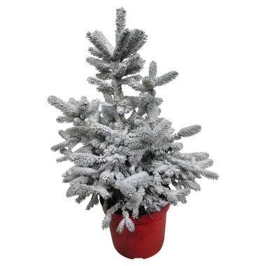 Picea sneeuw 60 cm