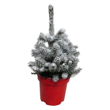 Picea sneeuw 20 cm