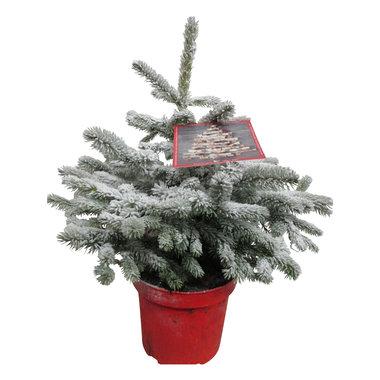 Picea sneeuw 45 cm