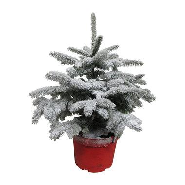 Picea sneeuw 50 cm