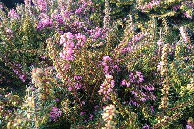 Erica darleyensis 'Ghost Hills' - winterheide 10-20 cm