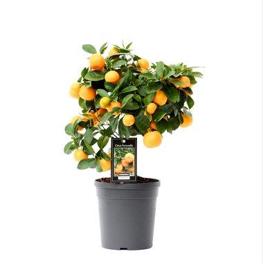 Citrus Calamondin(CAL P15)