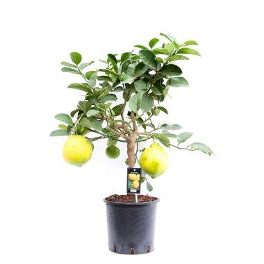 Citrus Lipo op stam(Lipo)