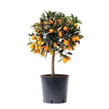 Citrus Kumquat(KUM P22)