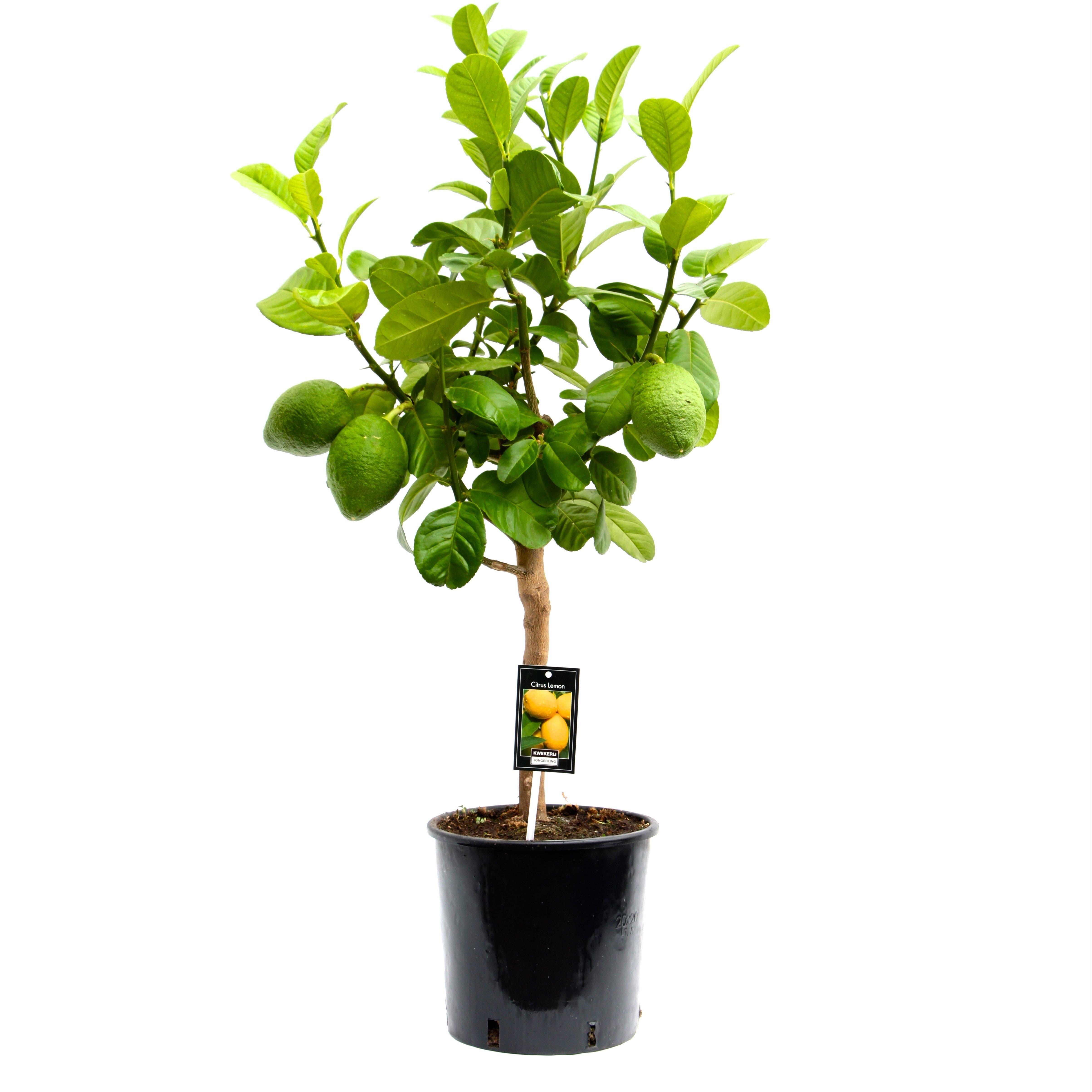 Citrus Bergamot (Citrus Bergamot )