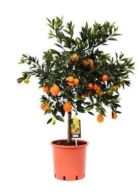 Citrus Kucle(Kuclie24)