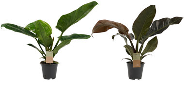 Decorum Philodendron Combi Imperial Green - Imperial Red feel green(2403515)