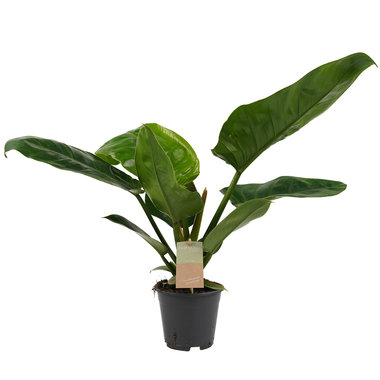 Decorum Philodendron Imperial Green Feel Green(640256)