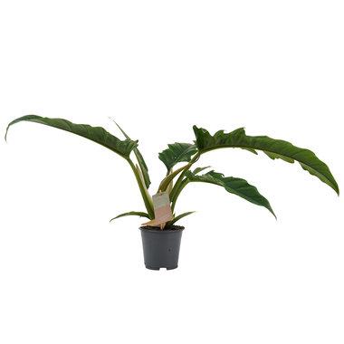 Decorum Philodendron Narrow Escape Feel Green(640323)