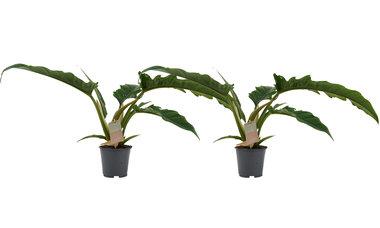 Decorum Duo Philodendron Narrow Escape Feel Green(640323)