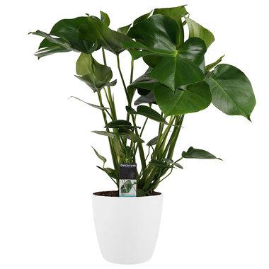 Gatenplant in witte Elho Brussels pot - 70cm(dpmdel21)