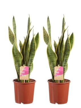 Sanseveria, vrouwentong (Sanseveria laurentii)