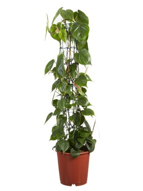 Philodendron scandens(Philodendron scandens)