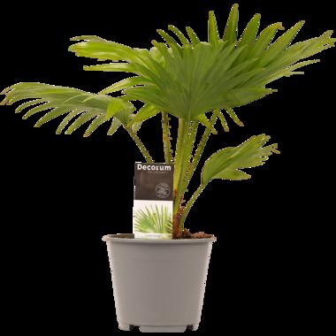 Livistona Rotendifolia